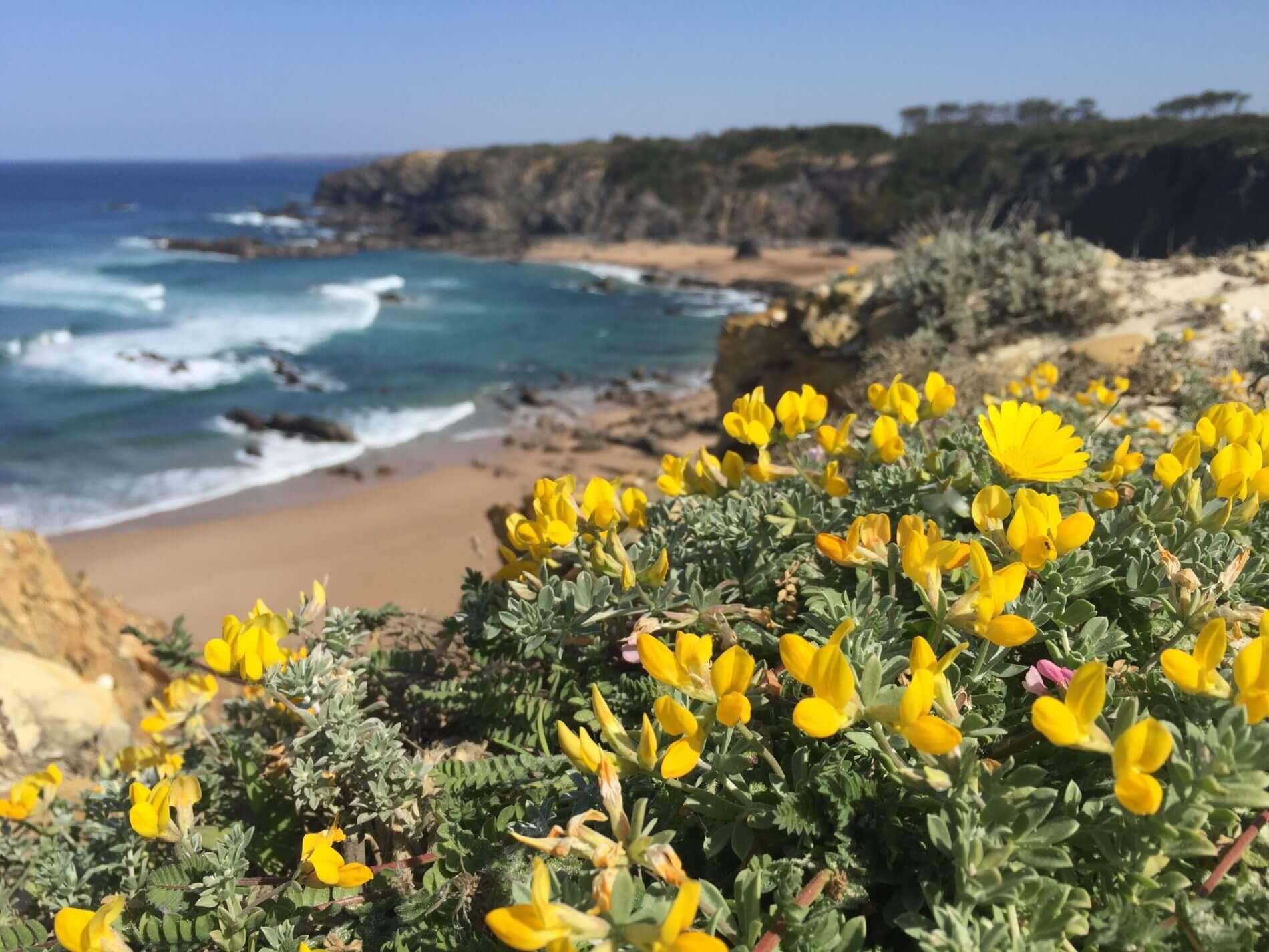 Rota Vicentina_Fishermen's Trail_gelbe Blumen und Steilküste