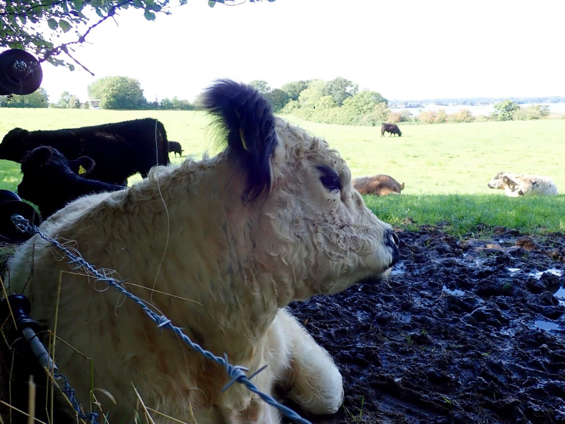Wandern bei Holnis_Kuh auf der Weide