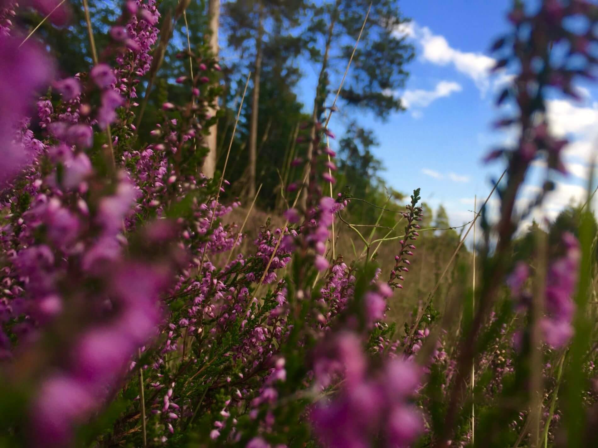 Heide bei Leck_Langenberger Forst
